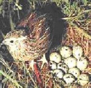 venta de huevos de codorniz