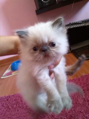 Hermosa y regalona gatita persa himalaya busca hogar