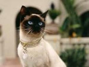 Atencion amantes de los gatos siameses 100% puros