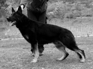 Cachorros pastor aleman linea de trabajo entrega inmediata