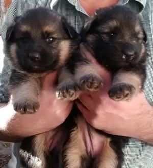 Cachorras pastor alemán, nacidas el 21 de marzo del 2015