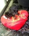poodle toy negro