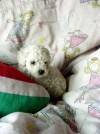 cachorros poodle teacup