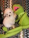 cachorros poodle MICROTOY env�o a regiones