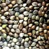 Eres de Chile y no encuentras tus semillas anuncio enviado a www.chileanuncios.cl por growshopcordoba el 14/12/2012